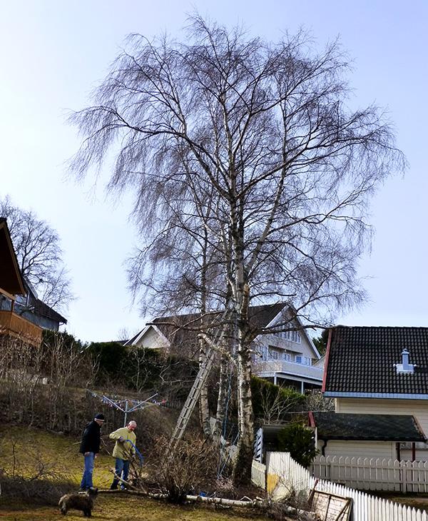 De første greinene er tatt ned, men ennå mye igjen av trærne