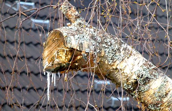 Et utrolig sevjeregn fra alle sår i treet