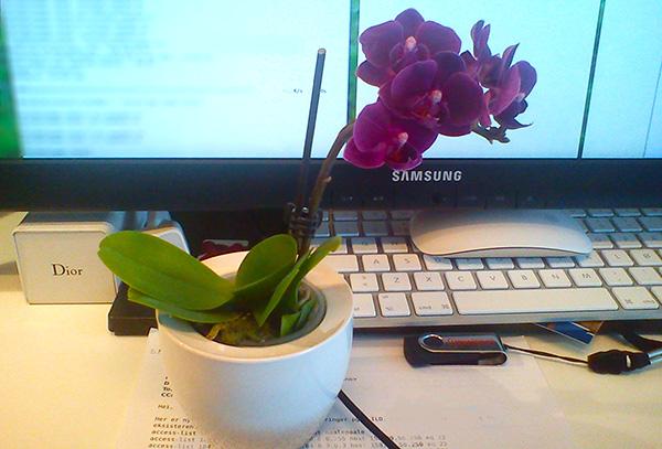 En knallsøt liten Phalaenopsis på pulten min