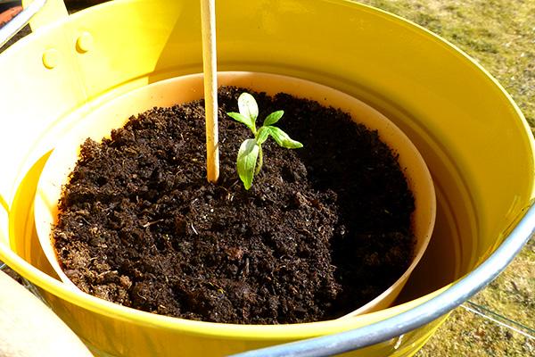 drivhus-tomat-i-botte