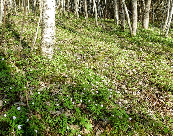 Enorme mengder hvitveis dekker skogbunnen