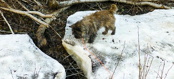 Litt spennende å finne snø ...
