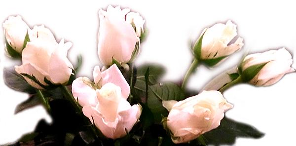 hvite-roser