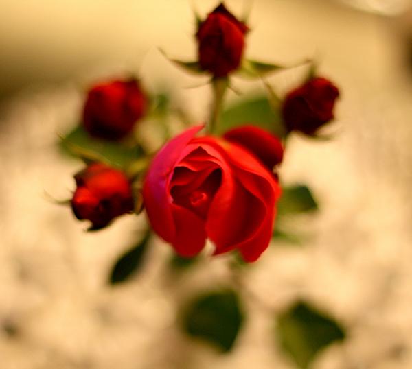 arets-siste-rose