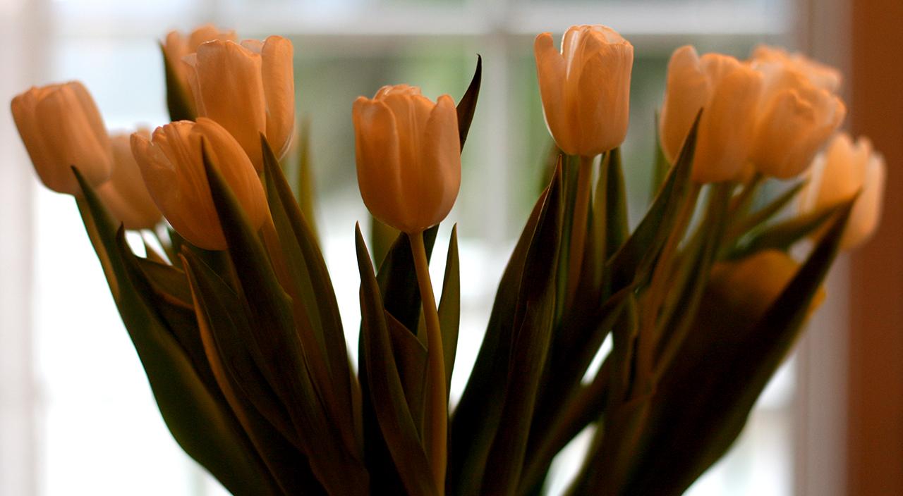 tulipaner-februar