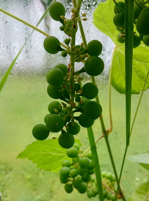 druer-drivhus