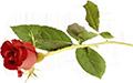 rose-liten